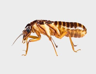 A termite that can be removed by a termite exterminator in Riverside, CA