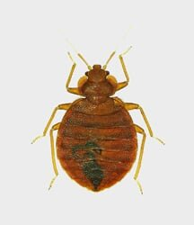 Bed bug we exterminate with bed bug control in Highland, Ontario & Riverside, CA