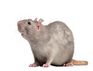 A rat than can be taken care of by our rodent control services in Riverside, CA