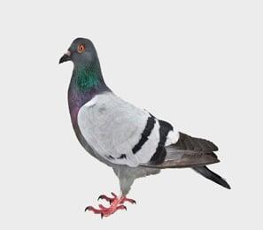 Bird Removal in Redlands, CA