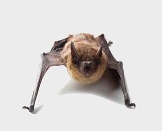 Bat - Bat Exterminators in Redlands, CA