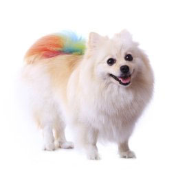 White Pomeranian - Dog Grooming in Saugerties, NY