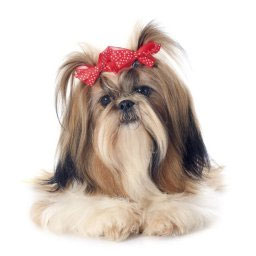 Shi Tzu - Dog Grooming in Saugerties, NY
