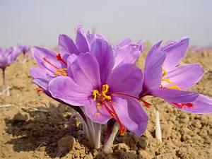 I M Just Wild About Saffron Crocus Sativus That Is