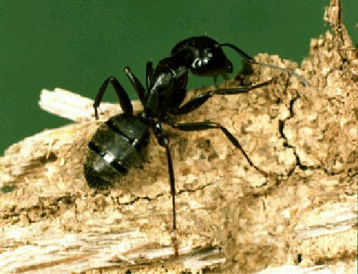 Property Owner S Quick Guide To Carpenter Ants And Trees