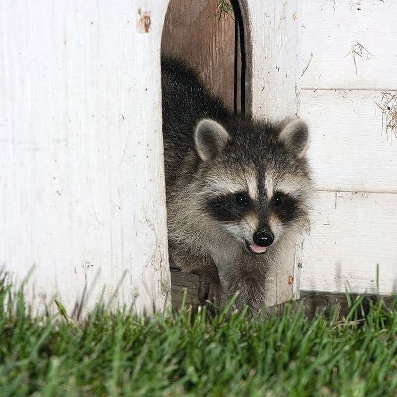 Wildlife Removal Zimmerman Minnesota Badger Wildlife