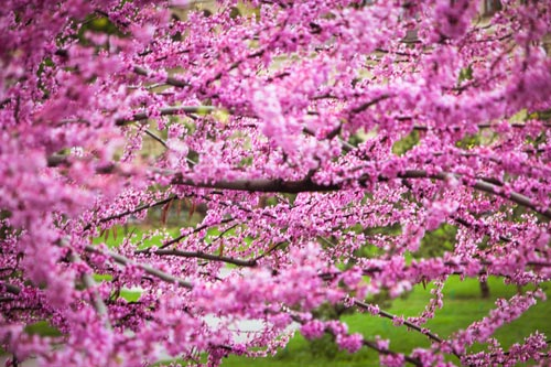 Make A Redbud Tree The Centerpiece Of Your Garden