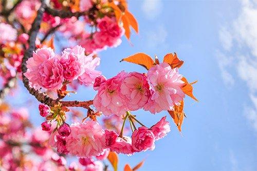 Flowering Trees That Grow Well Near Sacramento