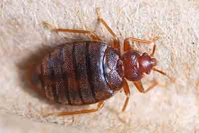 The Health Risks Associated With A Bed Bug Infestation