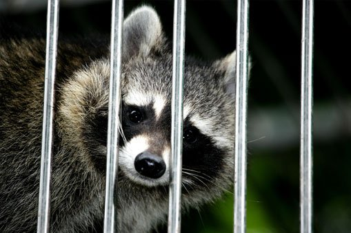 raccoon trapping services