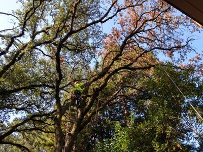 Tree Care Rancho Cordova Ca Tree Care Incorporated