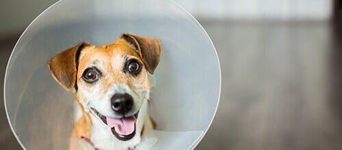Vet Dog Collar — Veterinarian in Tallahassee, FL