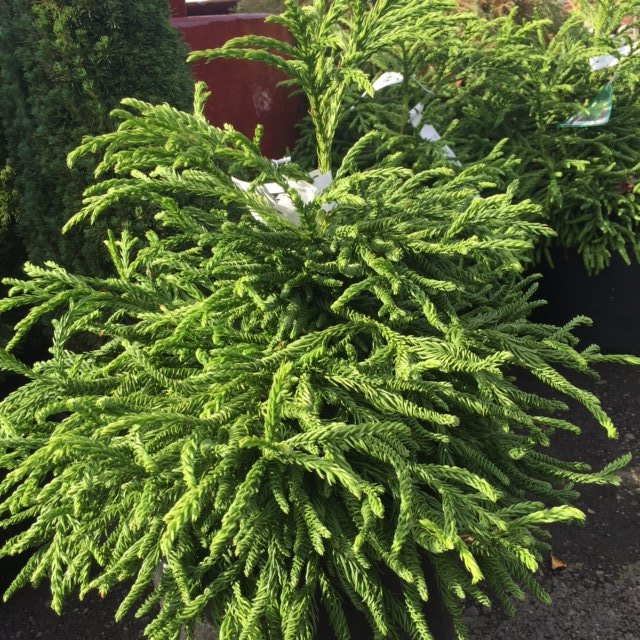 Conifers For Sale In Snohomish Wa