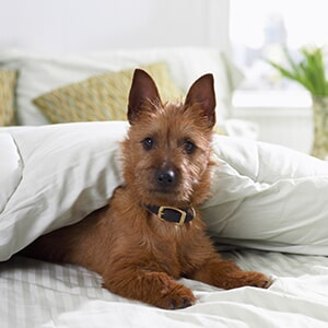 119ffafgsitetimestamp636480062060000000 dog on bed pets in alpharetta ga solutioingenieria Image collections
