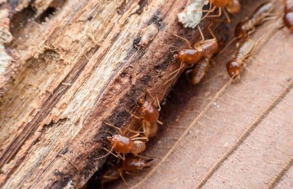 Termite Removal Washington Pa Selway Termite Co