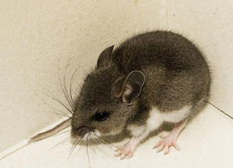 Five Signs You Have a Rodent Infestation